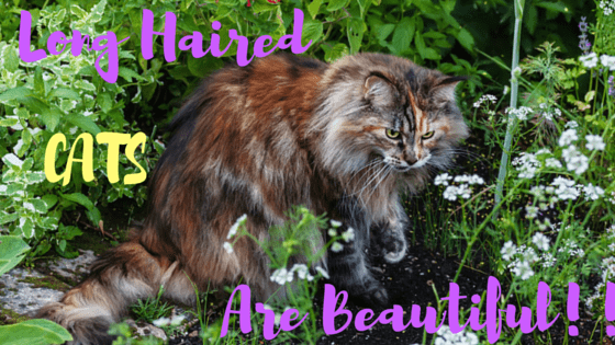 23 Beautiful Amp Lovely Long Haired Cat Breeds Will Make You